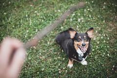 327/366 - Throw it! (Brian.Buckler) Tags: bear dog pet color cute canon project pembroke 50mm corgi mark f14 brian ii 5d stick welsh 365 tri ef koda 366 buckler