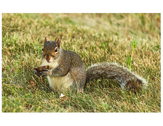 tree squirrel (RBs pics) Tags: usa nature grass america canon outdoors photography eos squirrel pennsylvania wildlife pa purelynature canon7d