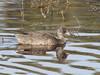 Freckled Duck at Lake Claremont (WA47) Tags: australia claremont westernaustralia anatidae bwa anseriformes freckledduck stictonetta stictonettanaevosa lakeclaremont