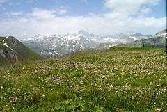 Prato di trifogli (saneve) Tags: mountains alps landscape landscapes paesaggi prato montagna trifogli furka passofurka