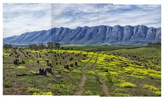 witzenberg and burnt forest 2013 (francois f swanepoel) Tags: landscape southafrica burnt burned westerncape tulbagh witzenberg