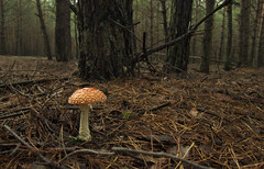| Sleepy hollow (Aleks Wojt) Tags: wood autumn tree fall mushroom pine forest fly moss cone fear ukraine elf sleepy goblin horror fir spruce hollow mystique amanita agaric silvan