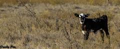 Calves at Tolay Lake Regional Park (Dunby PICS) Tags: park county lake cow sonoma lane cannon petaluma calf regional lakeville calve tolay httpparkssonomacountycagov parkssonomacountycagov