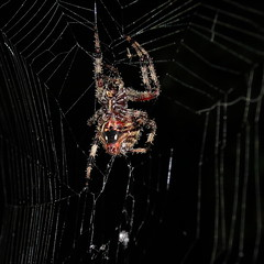 Ventral view of Neoscona (Last Seen in Md) Tags: nature closeup canon spiders maryland suburbs s100 orbweavers arachtober arachtober2013