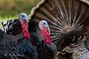 Turkey Butt Bokeh (ghostrider_200) Tags: bird nature birds canon turkey flickr fallcolor wildlife birding avian jordanlake birdwatchers canon7d