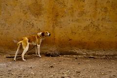 Perro del desierto (gmcorral) Tags: dog desert perro desierto marruecos marrón arcilla