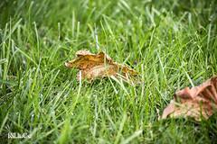 green grass (NiLinCo aka Gianluca Nicolin) Tags: brown verde green nature grass photo leaf nikon pics natura erba filter definition foglia popular share comment marrone definizione nicolin d3100 nilinco