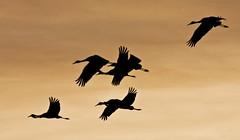 Last Flight -- Sandhill Cranes ( Grus canadensis); Ladd Gordon Waterfowl Complex, Bernado, NM [Lou Feltz] (deserttoad) Tags: sunset mountain newmexico bird nature clouds desert crane flight refuge silhouettte wildbird blinkagain
