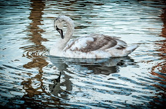 1 of 52 2014 (Dave Stocking) Tags: canal swan birmingham view young 52 2014