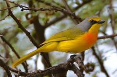 Orange-breasted Bushshrike (Telophorus sulfureopectus) ♂ (Ian N. White) Tags: southafrica limpopo bushshrike telophorussulfureopectus swartwater orangebreastedbushshrike