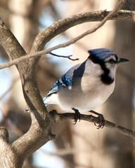 Blue Jay (tommaync) Tags: blue brown white black tree bird eye feet nature nc nikon jay branches tail wing beak northcarolina crest bluejay february 2014 chathamcounty d40