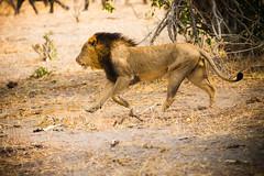 Lion (Lightfox1) Tags: animals lions botswana chobenationalpark 2013
