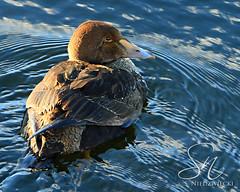 King Eider 4220-14 (StacyN - MichiganMoments) Tags: bird duck birding waterfowl kingeider muskegon somateriaspectabilis muskegonchannel stacyniedzwiecki