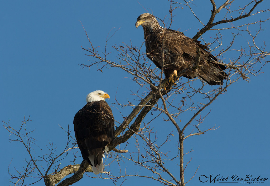 Two For One Deal - Bald Eagles