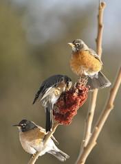 _DSC0155 (Putneypics) Tags: winter robin vermont sumac americanrobin putney staghornsumac turdusmigratorius putneypics