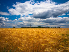 Fields of Barley (RobertCross1 (off and on)) Tags: france barley clouds landscape europe grain bluesky olympus loire omd m43 em5 microfourthirds mygearandme mygearandmepremium mygearandmebronze mygearandmesilver mygearandmegold mygearandmeplatinum mygearandmediamond 1250mmf3563mzuiko