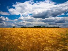 Fields of Barley (RobertCross1 (off and on)) Tags: france barley clouds landscape europe grain bluesky olympus loire omd m43 em5 microfourthirds mygearandme mygearandmepremium mygearandmebronze mygearandmesilver mygearandmegold mygearandmeplatinum mygearandmediamond 1250mmf3563mzuiko