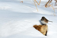 The Snowbirds are Still Here (NaturalLight) Tags: junco kansas wichita snowbird darkeyed chisholmcreekpark