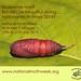 National Moth Week 2014 - Pupae