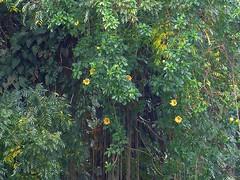 Cup of Gold Vine - Solandra Maxima - P1020659 (Toby Garden) Tags: island hawaii big rainforest lookout falls bamboo waterfalls hilo akaka solandramaxima cupofgoldvine cupofgoldvinesolandramaxima