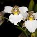 Rhynchostele rossii – Phyllis Prestia, First Award