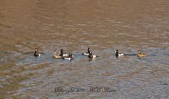 Ringed Neck Ducks (1 of 2) at Duke Farms, Hillsborough, NJ (takegoro) Tags: nature birds animals wildlife ducks sanctuary naturepreserve dukefarms neck nj hillsborough ringed