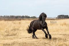 3649503_orig (amable) Tags: horses horse training freestyle circus fries canter paard friesian prance horsetraining vrijheidsdressuur tricktraining baroquehorse