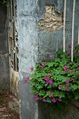 Geranium (Kriszti M) Tags: flower spring gate oldwall geraniummacrorrhizum hardygeranium