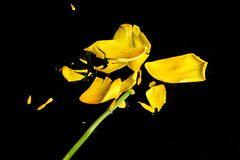 Tulip in nitrogen (le cabri) Tags: flower macro broken yellow closeup tulip nitrogen freshness strobe 2014 black strobist background on black liquid cabriphoto cactusv6 nitrogen