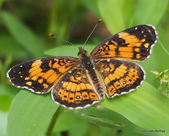Pearl Crescent (carolinabutterfly) Tags: crescent pearl