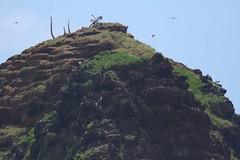 IMG_0512.Comp1320 (SF_HDV) Tags: maui hana kokibeach frigatebirds greatfrigatebirds alauisland