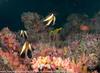 Heniochus pleurotaenia - poisson cocher fantôme - Phantom bannerfish    01.jpg