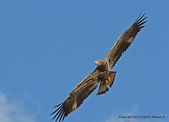Bald Eagle 0682 (frank.kocsis1) Tags: eagle florida flight baldeagle juvenile landfill frankkocsis seealbumformorephotos