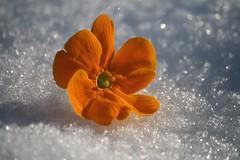 In attesa della primavera (Luc1659) Tags: orange flower macro primavera colore ngc npc neve primula maceloveinartstyle