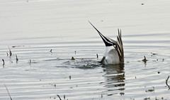 Northern Pintail -- Male (Anas acuta); Bosque del Apache NWR, NM [Lou Feltz] (deserttoad) Tags: newmexico reflection bird nature duck wildlife waterfowl behavior refuge wildbird