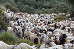 anne de la chvre (canecrabe) Tags: flock andalousie alpujarras chvre troupeau annedelachvre
