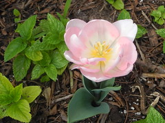 'Angelique' tulips fully bloomed out (pawightm (Patricia)) Tags: austin texas inmygarden centraltexas angeliquetulip midfebruary backyardborder pawightm salviaguaraniticafoliage rscn0419220201544300pm