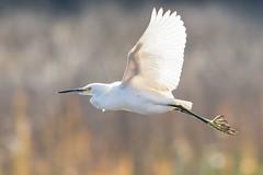 Snowy Egret (Foodisgoodhere) Tags: bird canon southcarolina egret snowyegret birdinflight francismarionnationalforest canonef400mmf56lusm 7dmii seweeshellringtrail