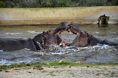 un bisou, si un bisou!!! (christian.man12) Tags: zoo nikon bain 18105 barben hippopotames d5100