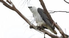 White-bellied Sea Eagle (Edwinna Bartley) Tags: tasmania australianbirds whitebelliedseaeagle nwtasmania