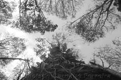 Fugere Urben (Francisco Barnab Ferreira) Tags: cu nuvem vegetao galhos tronco copa