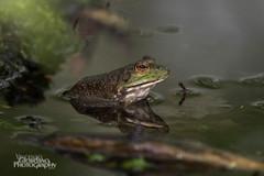 Froggy (Vinny Giordano) Tags: frog facebook massapequa giordanophotography giordanophotos