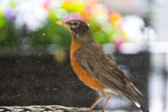 American Red Robin (Mike GL) Tags: nyc newyorkcity newyork bird net brooklyn screen mosquito redrobin interference