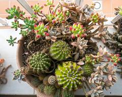 Unos cactus en el alfizar y un cauchil (Micheo) Tags: cactus primavera pots windowsill springtime crasas alfeizar cauchil