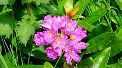green and purple 03 (byronv2) Tags: park pink plants plant colour green nature rural scotland countryside flora purple glasgow milngavie mugdock mugdockcountrypark