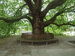 Platane von drinnen (mkorsakov) Tags: shadow friedhof tree green oldschool platanus grn schatten baum dortmund platane grnzeug hauptfriedhof wambel aberhallo