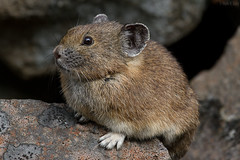 Pika (markvcr) Tags: bunny animal mammal pika lagomorph