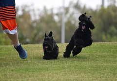 Fun (amirpaz) Tags: fun dogs running nikon poodle scotish terrier animals pets