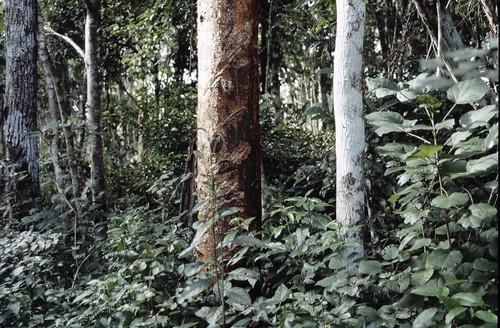 Camino a Calakmul, arbol de chicle