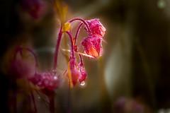 Geum (matthiasstiefel) Tags: macro rain drop bach makro regen tropfen wateravens kapuziner nelkenwurz geumrivale purpleavens blutstrpfchen bachbenedikt herzwurz wasserbenedikt wasserwurz rosengewchs nikon105mmf2 herrgottsbrot